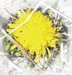 配信限定シングル「3月のタンポポ」プロジェクト